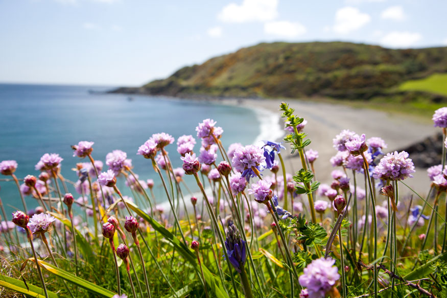 Godrevy Cove through the sea thrift